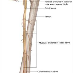 Sciatic Nerve Anatomy Branches - The Miracle 10 - How Can You Help Your Sciatica?
