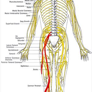 Sciatic Nerve In Leg